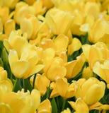 Tulipanes amarillos vibrantes en fondo de la plena floración Imagen de archivo