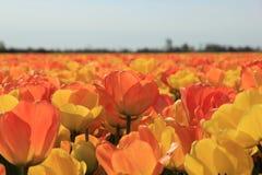 Tulipanes amarillos y anaranjados Fotografía de archivo libre de regalías