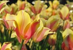Tulipanes amarillos y anaranjados con puntos culminantes rosados imagen de archivo