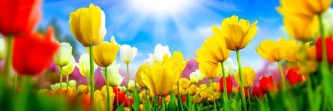 Tulipanes amarillos y blancos rojos imagen de archivo