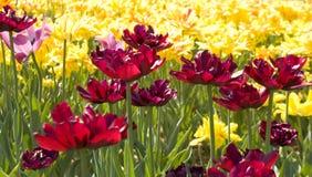 Tulipanes amarillos y carmesís Foto de archivo libre de regalías