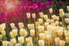 Tulipanes amarillos y púrpuras hermosos en un macizo de flores con luz del sol fotos de archivo libres de regalías