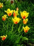 Tulipanes amarillos y rojos Foto de archivo