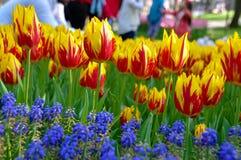 Tulipanes amarillos y rojos Fotografía de archivo libre de regalías