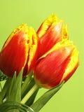 Tulipanes amarillos y rojos Imagen de archivo