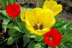 Tulipanes amarillos y rojos en el macizo de flores imágenes de archivo libres de regalías