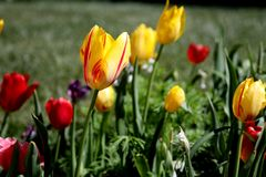 Tulipanes amarillos y rojos en la floraci?n imagenes de archivo
