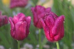 Tulipanes amarillos y rojos en la lluvia con el DOF en un tulipán amarillo derecho más bajo Foto de archivo libre de regalías