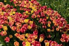 Tulipanes amarillos y rojos en la plena floración Fotografía de archivo libre de regalías