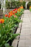 Tulipanes amarillos y rojos en macizo de flores en abril Jardín de la primavera Tulipanes coloridos en cama de flor Diseño del pa Foto de archivo