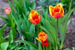Tulipanes amarillos y rojos imagen de archivo libre de regalías