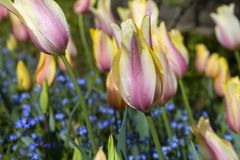 Tulipanes amarillos y rosados fotos de archivo libres de regalías