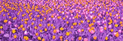 Tulipanes amarillos y rosados con las hojas púrpuras libre illustration