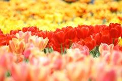 Tulipanes anaranjados Imagenes de archivo