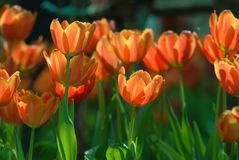 Tulipanes anaranjados. Fotos de archivo libres de regalías