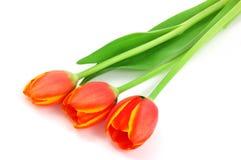 Tulipanes anaranjados Imagen de archivo libre de regalías