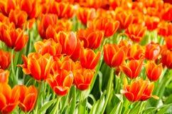Tulipanes anaranjados Fotos de archivo