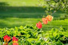 Tulipanes anaranjados foto de archivo