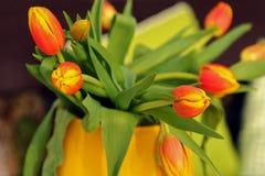 Tulipanes anaranjados con los pétalos amarillos de la extremidad Fotografía de archivo libre de regalías