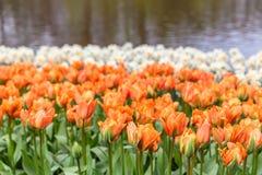 Tulipanes anaranjados de la cama de flor en el parque en Keukenhof Fotografía de archivo libre de regalías