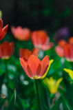 Tulipanes anaranjados de la primavera en la floración Fotografía de archivo libre de regalías