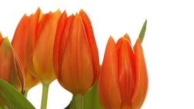 Tulipanes anaranjados de time lapse metrajes