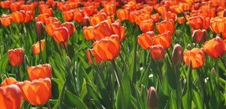 Tulipanes anaranjados del macizo de flores en el sol imágenes de archivo libres de regalías
