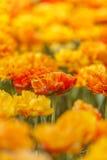 Tulipanes anaranjados dobles Imagen de archivo