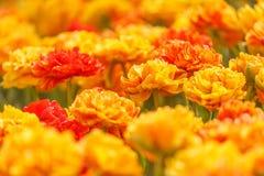 Tulipanes anaranjados dobles Fotografía de archivo libre de regalías