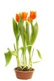 Tulipanes anaranjados en crisol Foto de archivo libre de regalías