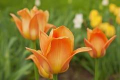Tulipanes anaranjados en jardín Imágenes de archivo libres de regalías