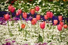 Tulipanes anaranjados en las prímulas blancas Imagenes de archivo