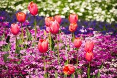 Tulipanes anaranjados en prímulas púrpuras Imagen de archivo