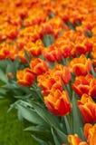 Tulipanes anaranjados hermosos Fotografía de archivo