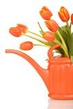 Tulipanes anaranjados hermosos en la poder de riego - aislada Imagen de archivo