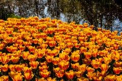 Tulipanes anaranjados hermosos en tiempo soleado en Holanda imagenes de archivo