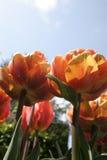 Tulipanes anaranjados rojos Fotografía de archivo