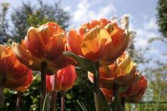 Tulipanes anaranjados rojos Imágenes de archivo libres de regalías