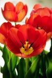 Tulipanes anaranjados rojos en primer de la floración Imagen de archivo