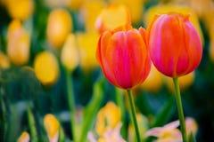Tulipanes anaranjados y amarillos de Magnificient en un campo del amarillo Imágenes de archivo libres de regalías