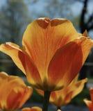Tulipanes anaranjados y amarillos en la floración imagen de archivo