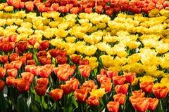 Tulipanes anaranjados y amarillos hermosos en tiempo soleado en Holanda imagen de archivo