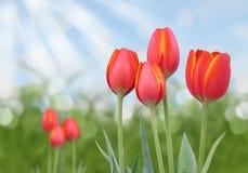 Tulipanes anaranjados y amarillos rojos con el fondo soleado abstracto del bokeh Foto de archivo libre de regalías