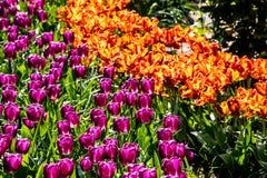 Tulipanes anaranjados y púrpuras hermosos en tiempo soleado en Holanda imagen de archivo