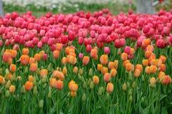 Tulipanes anaranjados y rosados Imágenes de archivo libres de regalías
