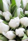 Tulipanes apacibles blancos Foto de archivo libre de regalías