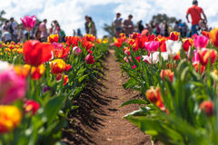 Tulipanes apacibles blancos Fotografía de archivo