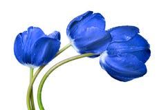 Tulipanes azules cubiertos de rocio Fotografía de archivo