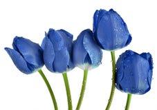 Tulipanes azules cubiertos de rocio Foto de archivo libre de regalías