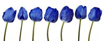 Tulipanes azules cubiertos de rocio Foto de archivo